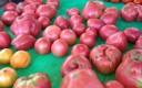 Tomatoes-253x300.jpg