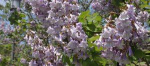 Longwood priness-tree
