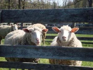 sheep and wool day