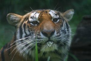 July 29 is Tiger Day at the Brandywine Zoo.